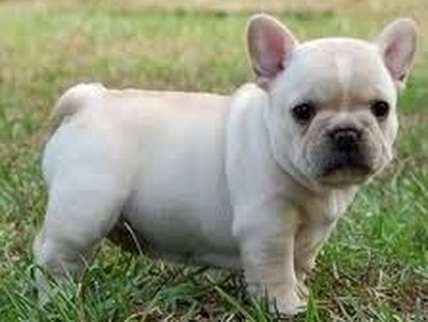 Famous Barbie French Bulldog Puppy Cream