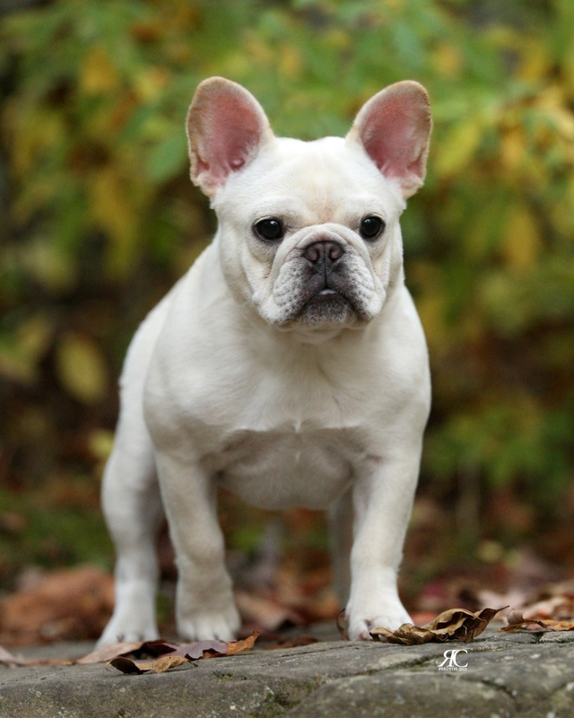 Quality French Bulldog Puppies For Sale Breeder In Pa Fantasia